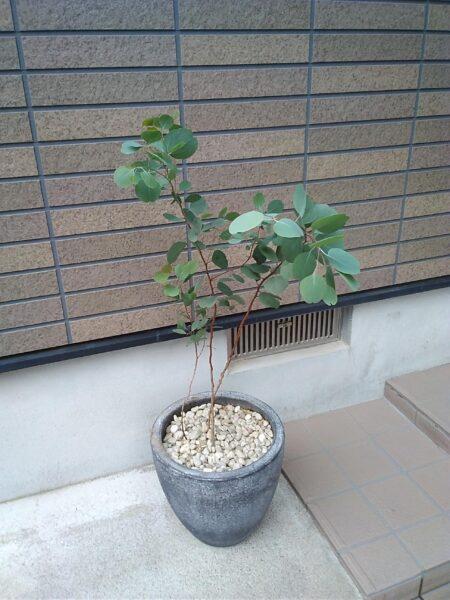 ポプラスの鉢植えの画像