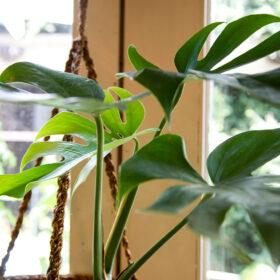 モンステラ・コンパクタの葉の画像