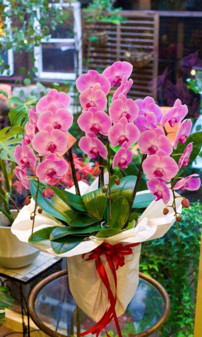 ピンク胡蝶蘭の画像