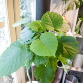 ウンベラータの葉のアップ画像
