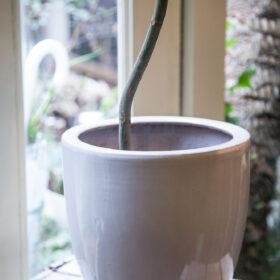 ウンベラータ鉢カバーの画像