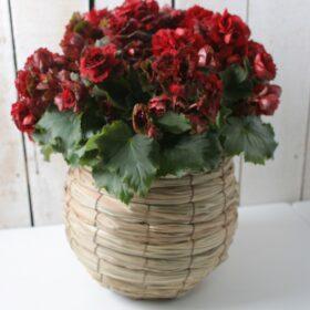 鉢植えの画像